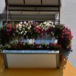 Brązowa Pelargonia - Alicja i Jan Harowie